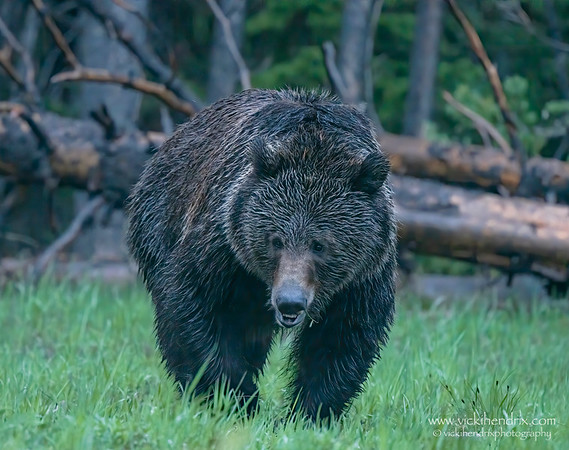 Lone grizzly spotted near Colter Bay - Grand Teton National Park, Wyoming