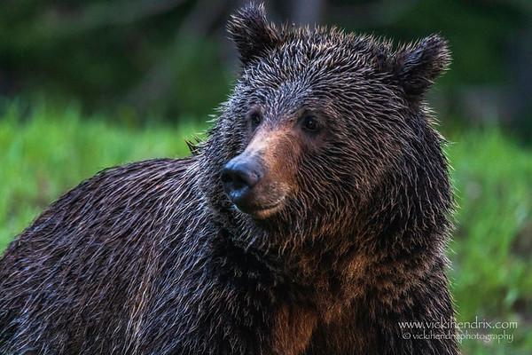 Grizzly bear at sundown - Grand Teton National Park, Wyoming