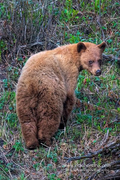 Cinnamon Bear - Yellowstone National Park