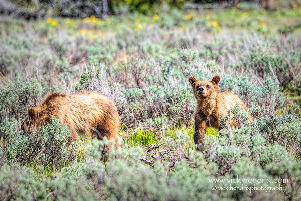 Grizzly 399's yearling cubs - Grand Teton National Park (May 2021)