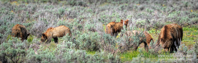 Grizzly #399, at age 25, and her 4 yearling cubs