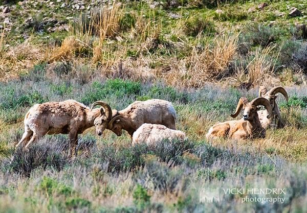 Head butting Big Horn Sheep - Grand Teton National Park, Wyoming