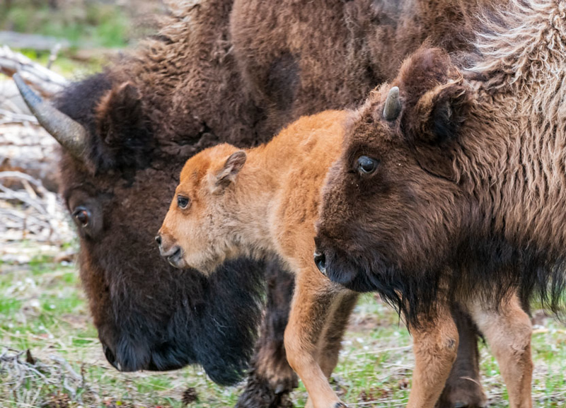 Bison Family