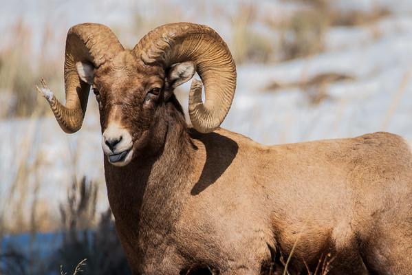 Bighorn Sheep Ram - Yellowstone National Park