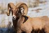 Bighorn Sheep - Yellowstone National Park