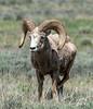 Bighorn Sheep - Grand Teton National Park