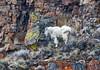 Mountain Goat on colorful, precipitous terrain - Yellowstone National Park