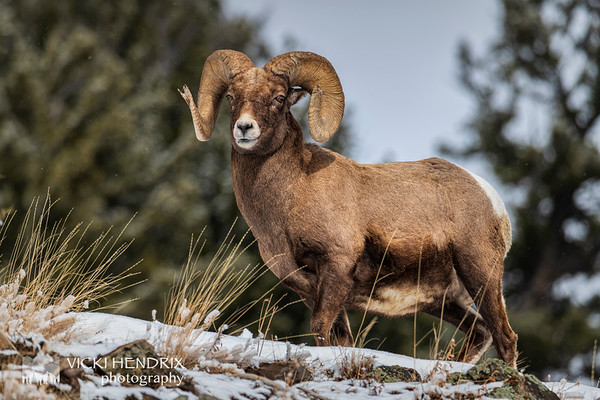 Bighorn Sheep ram paused in the light snowfall - Lamar Valley, Yellowstone National Park