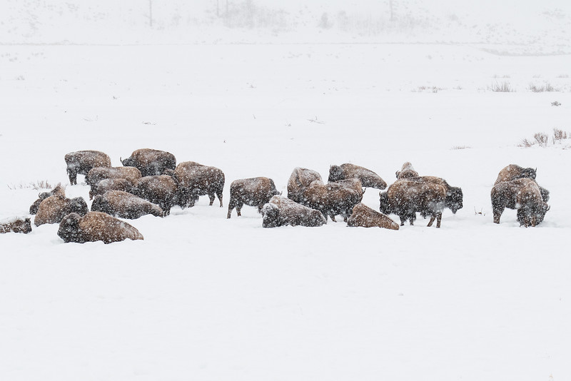 Herd of bison in the midst of snowfall - Lamar Valley, Yellowstone National Park, Wyoming