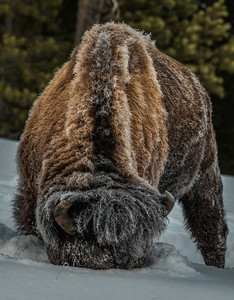 American Bison plowing through the deep snow to forage for buried food. - Yellowstone National Park, Wyoming