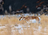 Pronghorn Antelope  Doe - near Mammoth Hot Springs, Yellowstone National Park, Wyoming