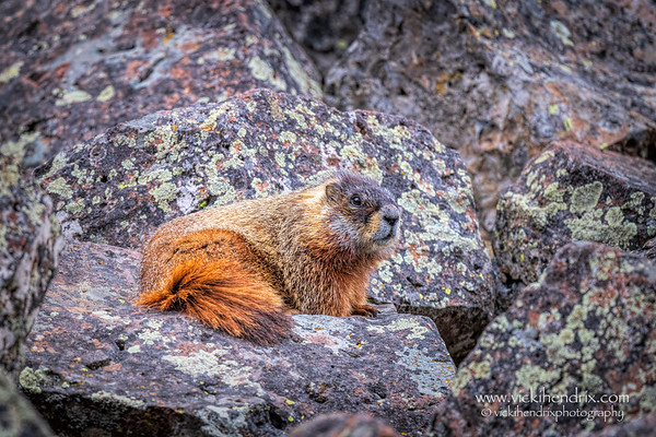 Yellow-bellied Marmot - Yellowstone National Park