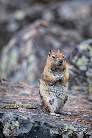 Golden Mantled Ground Squirrel - Yellowstone National Park