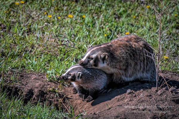 American Badger mother and her cub in the Spring - Yellowstone National Park