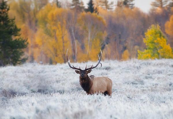 Bull Elk in the Frost
