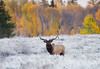 Bull Elk in the Frost