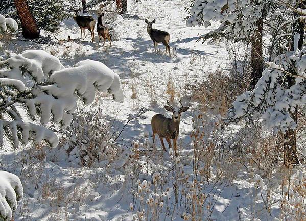 Mule Deer - Colorado