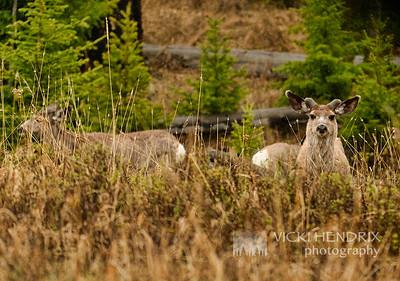Mule Deer in Spring - Yellowstone National Park