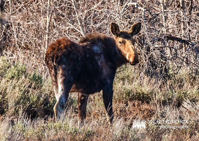 Moose in early Spring - Grand Teton National Park