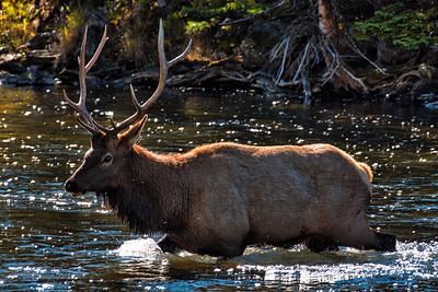 Bull Elk crosses the Madison River - Yellowstone National Park