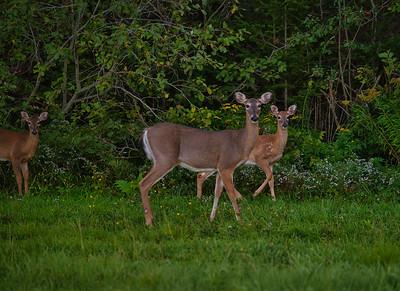 Mule Deer at Dusk - Lamoine, Maine