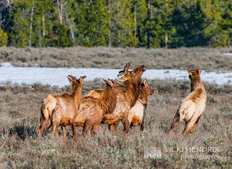 Bull Elk herd-bugled for his cows and calves - Grand Teton National Park, Wyoming
