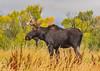 Juvenile Bull Moose in Driggs, ID