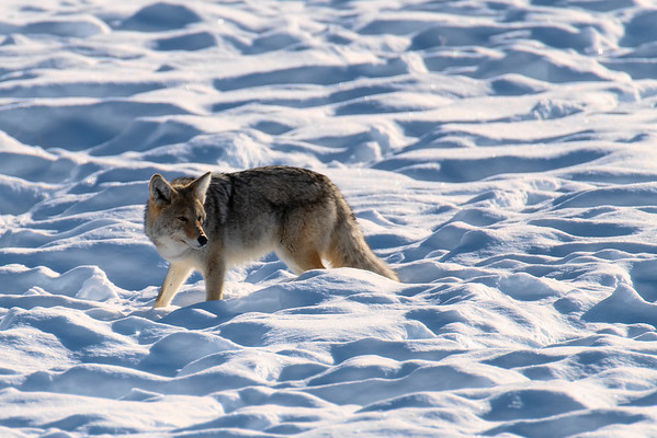 Coyote - Yellowstone National Park, Wyoming