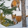 Red Foxes Walking Through the Snow