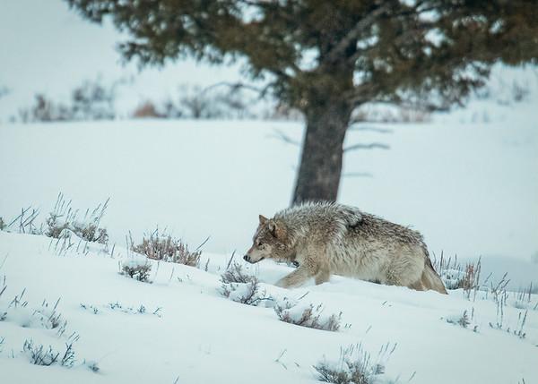 Gray Wolf from the Wapiti Wolf Pack - Yellowstone National Park, Wyoming