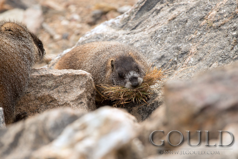 Marmot gathering nesting material.<br /> Rocky Mountain National Park, Colorado