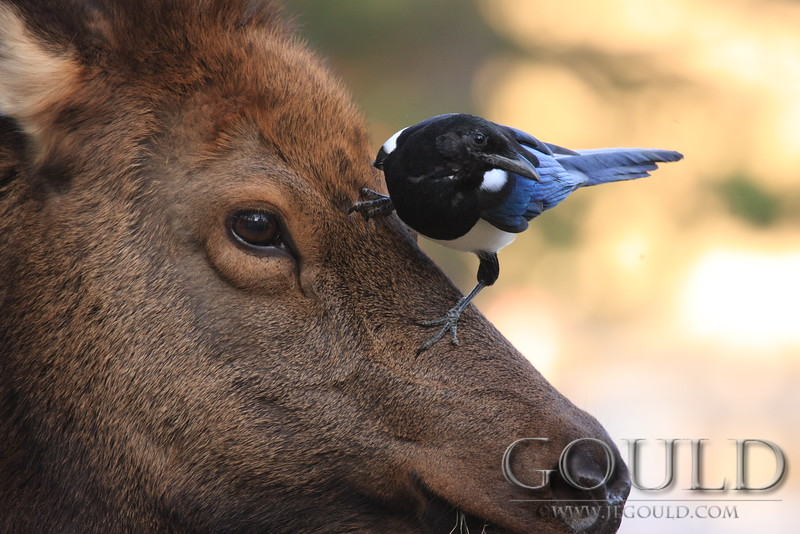 The Magpie And The Elk