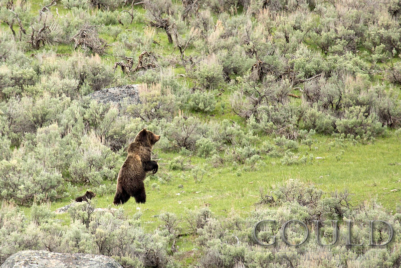 StandingGrizzly