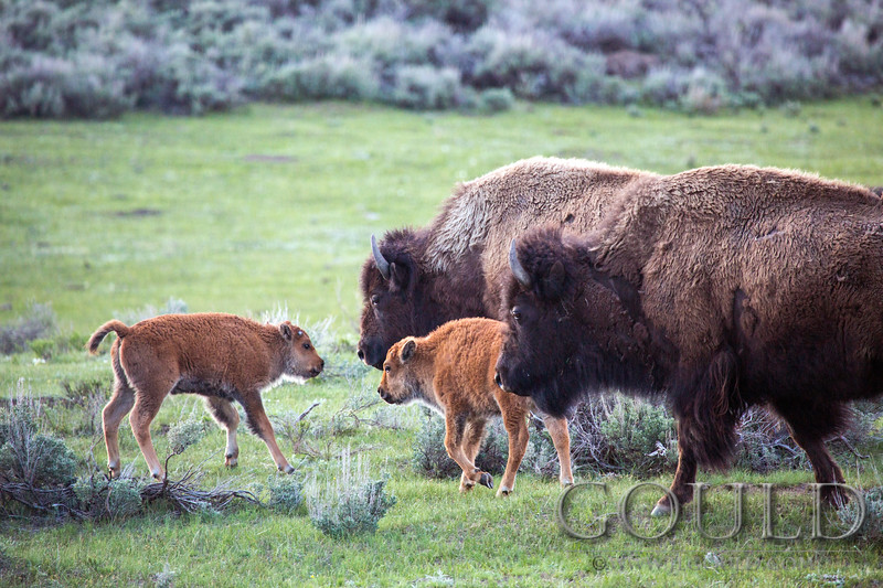 Red Dogs And Bison
