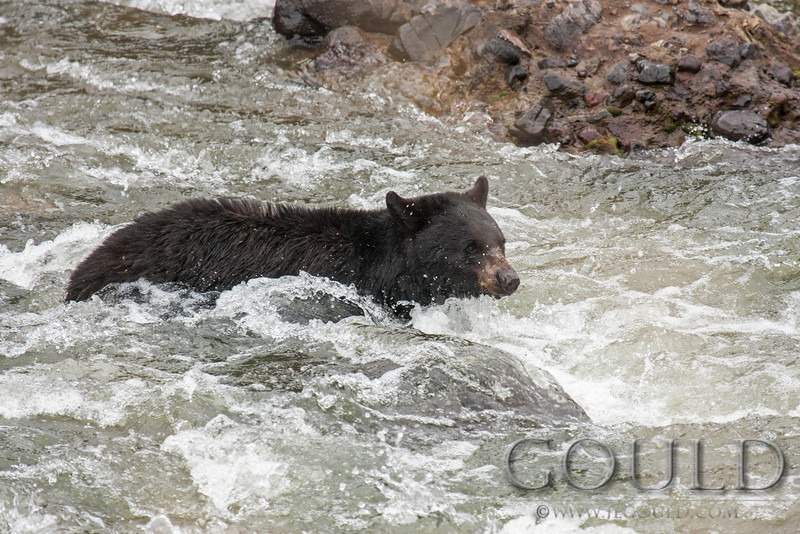 Black Bear In Rapids