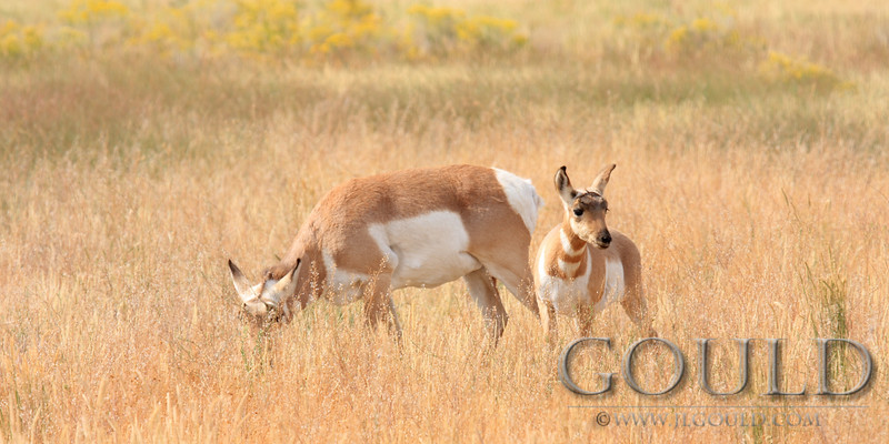 Antelope Doe And Calf