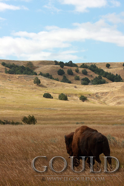 Bison In The Wind