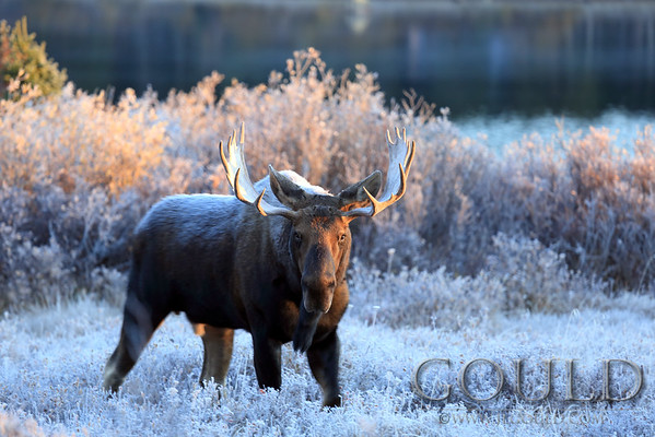 """Moose, Morning Frost""  Colorado"