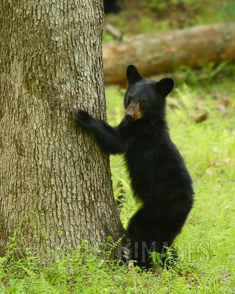 Black Bear Cub (Ursus americanus)