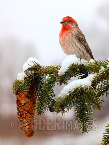 Male House Finch (Haemorhous mexicanus)<br /> Smoky Mountain Living Cover, Winter 2014