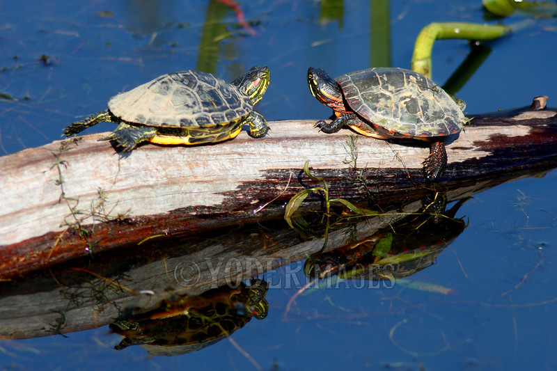 Red-eared Slider Turtle (Trachemys scripta elegans) and Painted Turtle (Chrysemys picta)