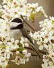 Carolina Chickadee (Poecile carolinensis)
