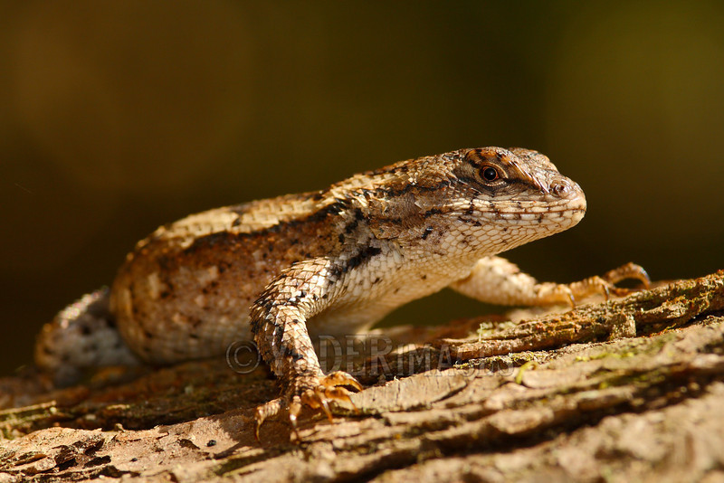 Eastern Fence Lizard (Sceloporus undulatus)<br /> Tennessee Wildlife Calendar, June 2014