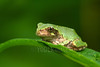 Cope's Gray Treefrog (Hyla chrysoscelis)