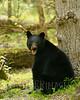 Female Black Bear (Ursus americanus)