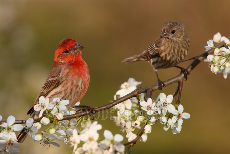 Male and Female House Finch (Haemorhous mexicanus)