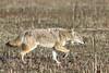Coyote (Canis latrans)<br /> Tennessee Wildlife Calendar, February 2015
