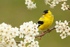 Male American Goldfinch (Spinus tristis) - Breeding Plumage