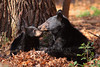 Female Black Bear with Cub (Ursus americanus)