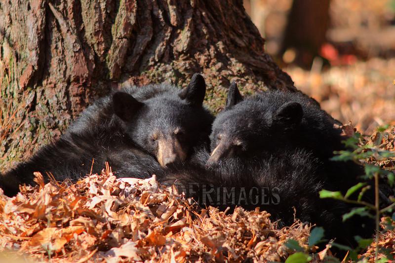 Black Bear Cubs (Ursus americanus)